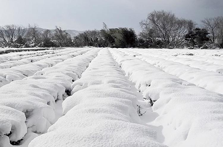 雪が積もった茶畑。雪の中で厳しい冬を耐えた茶葉は、独自のまろやかな味わいに