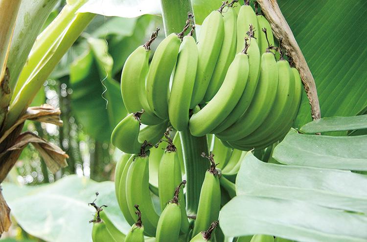 バナナやハイ ビスカスなど、冬を忘 れさせるような南国の 植物がたくさん!