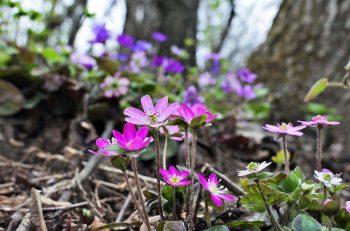 「新潟」花リレーとしてクリスマスローズ、雪割草、カタクリなど、新潟県にかかわりの深い早春の花々も楽しめるよ。