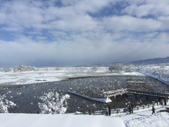 瓢湖の白鳥は今が最盛期です!