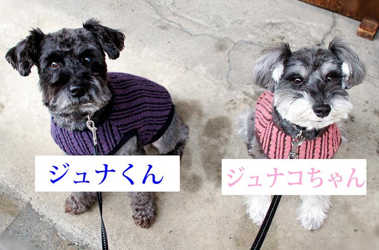 犬種はどちらもシュナウザー。渡辺さん手作りのキュートなお揃いの洋服を着ております。シュナコちゃんが来たばかりの時は大変だったそうですが、今はお互いイイ関係だそうで