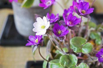 春をさきどり花リレーの第4弾『雪割草まつり』開催
