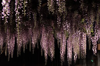 北方文化博物館の大藤が開花中。夜の大藤ライトアップもステキ