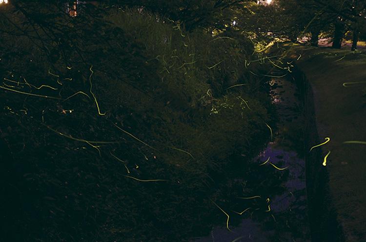 暗闇に幻想的な光を放つホタル。家族や恋人と弥彦公園に出かけよう!