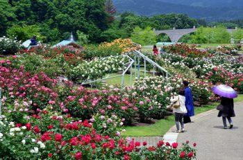 開園15周年を迎える「香りのばら園」に約700品種2,400株の香り豊かなバラが咲き誇る
