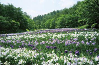 【新発田】五十公野公園に300品種60万本のあやめが咲きます