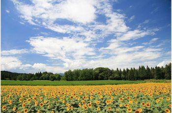 【津南町】青空に向かって伸びる黄色い大輪の花