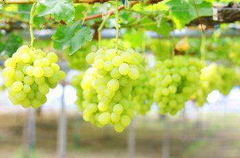 【聖籠町】特産のブドウ狩り
