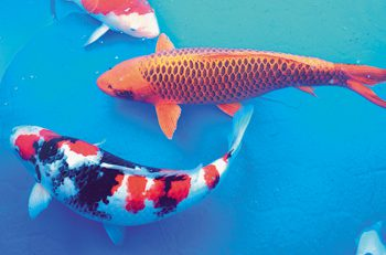 【小千谷市】美しい錦鯉を見に行こう