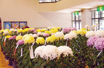 【上越市】秋の風物詩として親しまれている「菊まつり」