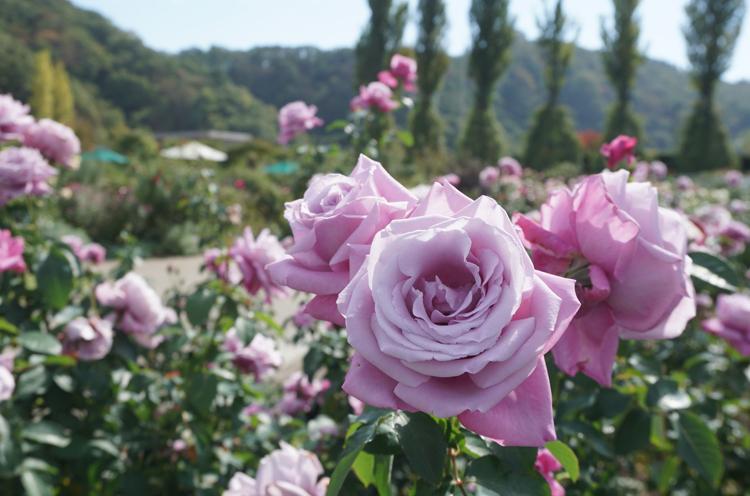 秋バラの奥深い魅力をお楽しみください!