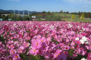 25万本のコスモスと5万本の黄色いコスモス、そしてさまざまな種類のバラが秋の越後丘陵公園を彩ります! 実りの秋を祝う「収穫祭」もあるよ!