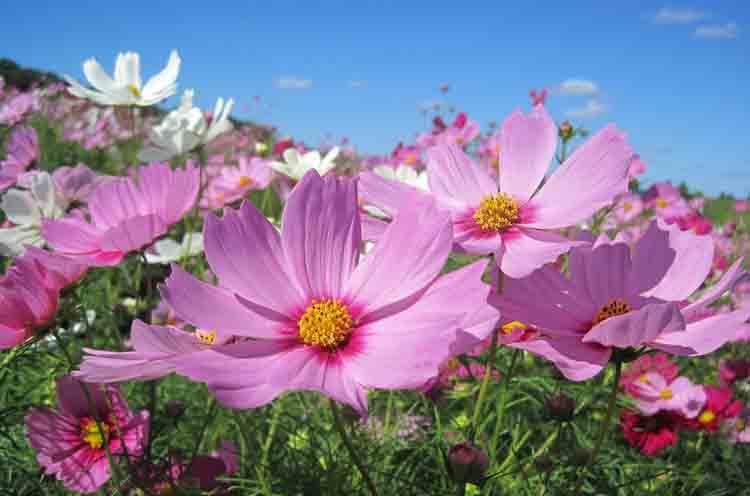 コスモスは9月中旬〜10月上旬が開花時期です