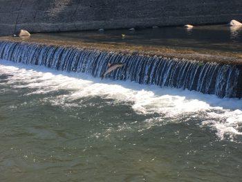 【柏崎市】市内を流れる谷根川を2万匹以上の鮭が遡上!