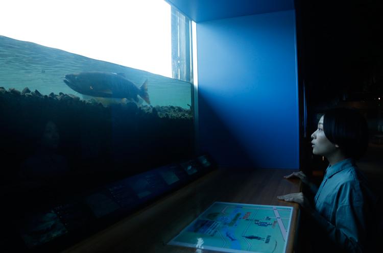 本物の川の中を泳ぐ鮭を観察