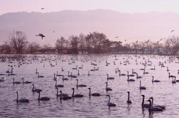 白鳥の湖・瓢湖を満喫できる本当の時間をご存知?【県内特派員HOT NEWS・阿賀野特派員/永松祥子さん】