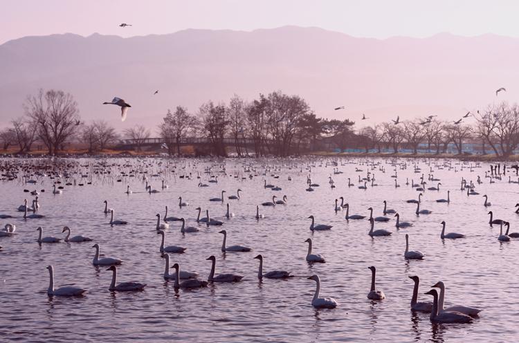 11月下旬のピーク時には5,000羽を超える白鳥が訪れます