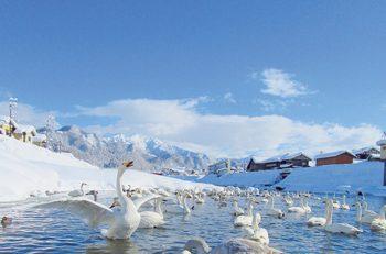 【三条市】五十嵐川に約400羽の白鳥が飛来。悠々と泳ぐ白鳥の姿を見に行こう!