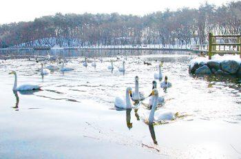 【聖籠町】多くの白鳥が飛来する弁天潟風致公園