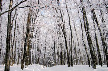 【十日町市】スノーシューで冬の美人林を散策しよう!