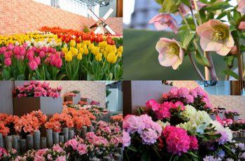 【国営越後丘陵公園】新潟県に縁の深い花々でつなぐ早春の新潟花リレーが開幕中|長岡市