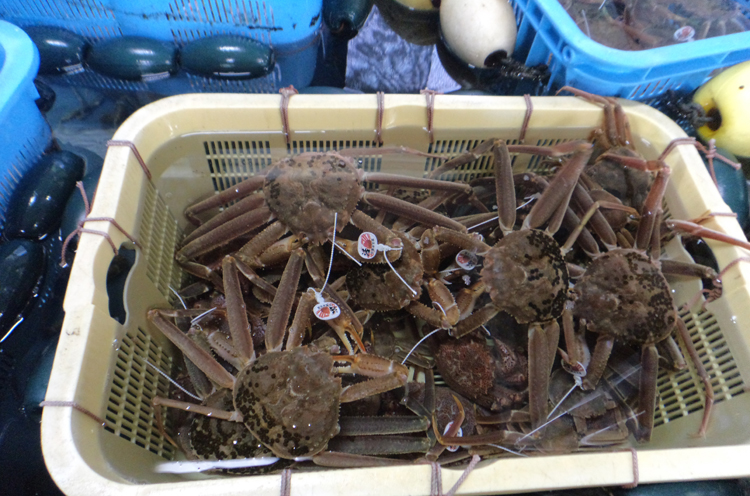 多田漁港で水揚げされたズワイガニ。海洋深層水で畜養中。おいしくな~れ!