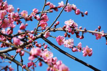 【田上町】春の訪れを告げる田上の梅!