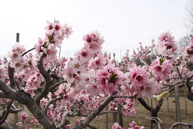うすいピンク色の桃の花と、晴れ渡る青空のコントラストが美しい!!