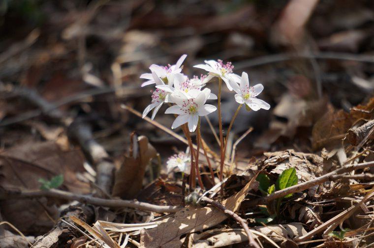 「雪割草」は新潟県の草花に指定されているんですよ~!