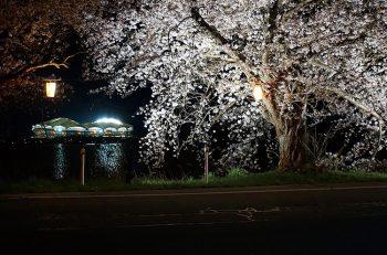【新潟市】ライトアップされた幻想的な桜の美しさにうっとり