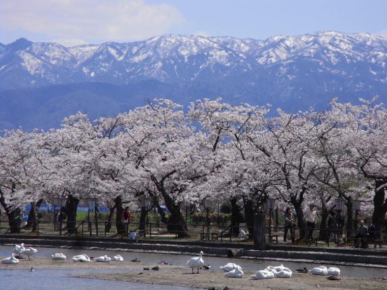 瓢湖の桜。白鳥と桜のコラボレーション!