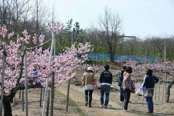 【刈羽村】「桃」のPRを兼ねた「桃の花見フェスティバル」を今年も開催