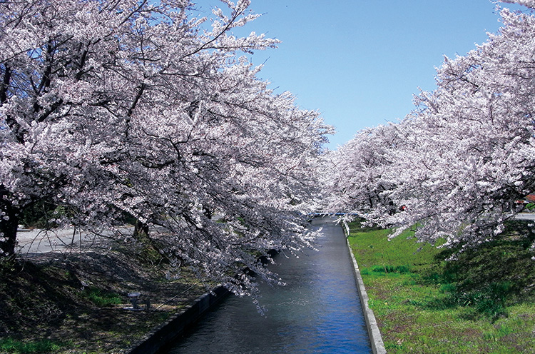 新江の桜並木