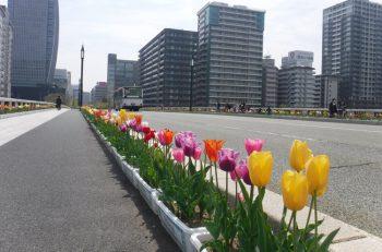 新潟駅から萬代橋まで、美しいチューリップが彩ります