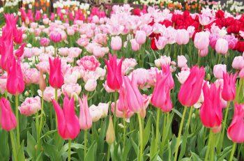 さまざまな形や色のチューリップを展示。3月16日(土)・17日(日)は温室入館料無料!