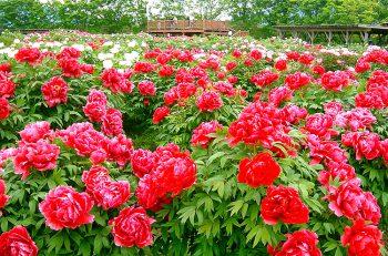 【五泉市】大輪の花を咲かせる牡丹とシャクヤクを見にいこう