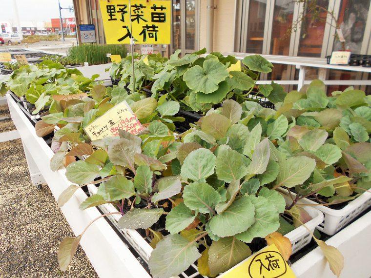 花野菜苗も豊富