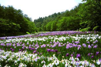 【新発田市】日本四大あやめ園のひとつに数えられる五十公野公園