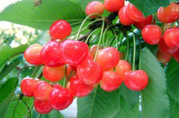 新潟一の生産量を誇る「赤い宝石」 聖籠町にさくらんぼの季節がやってくるよ