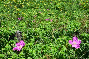 【胎内市】「はまなすの丘展望台」ではハマナスなどが6月下旬まで見ごろ!!