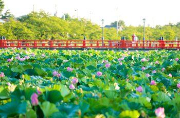 【上越市】東洋一と言われる蓮を見に行こう!