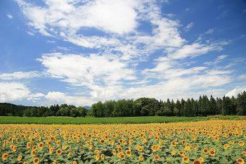 【津南町】津南の夏の風物詩、ひまわり広場が7月26日(金)から開園!
