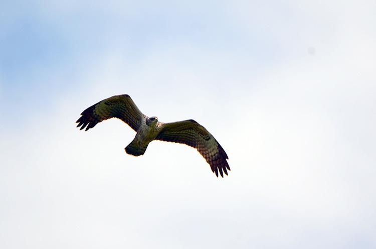 【小千谷市】山本山高原で大空を優雅に飛ぶ鷹を見よう