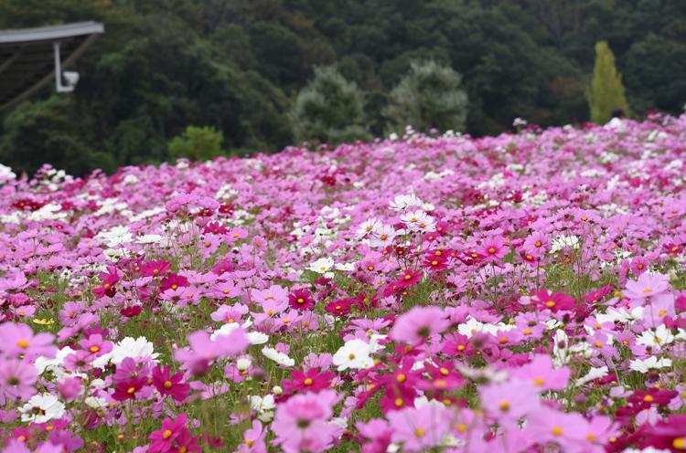 25万本の定番コスモスと5万本の黄色いコスモス、そしてさまざまな種類のバラが彩る!