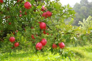 紅葉を眺めながらリンゴ狩りを楽しもう|新発田市