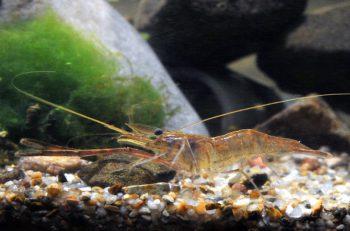 テナガエビ、モクズガニーー。新潟に生息するエビ&カニを紹介!