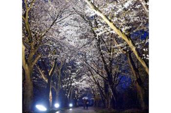 加治川治水記念公園で秋なのに夜桜(?)東洋一の桜へ返り咲け!