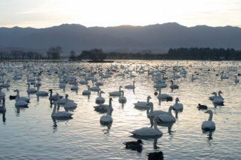 【阿賀野市】ピーク時には5000羽の白鳥が飛来。瓢湖の見学は早朝がオススメです