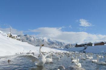【三条市】五十嵐川に白鳥が飛来!優雅に泳ぐ姿を見に行こう!