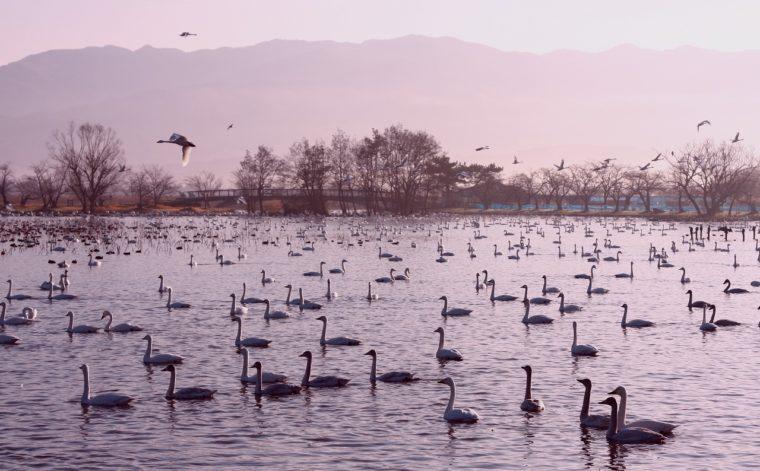 朝焼けの頃の瓢湖がキレイ